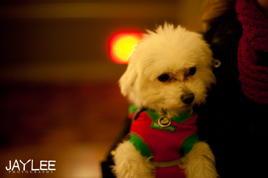 adorable maltese, maltese puppy photography, christmas photography, portland christmas photography, portland photographers, seattle photographers