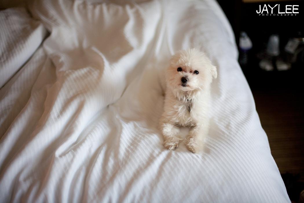dogs at westin hotel, dog westin hotel portland, dog friendly hotel westin portland, maltese photography, adorable maltese photo, dog on bed, animal photographer seattle
