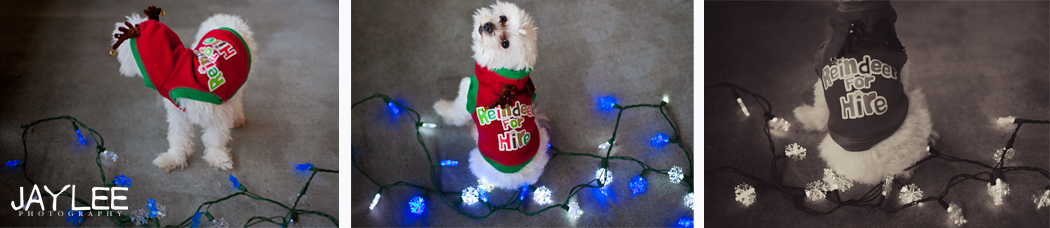 seattle animal photographer, seattle animal holiday photo, animal holiday photo, maltese holiday photo, maltese christmas, dog christmas lights, merry christmas dog, reindeer dog, reindeer for hire dog, dog antlers christmas