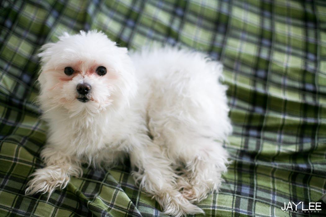 maltese photography, adorable maltese, 5 pound maltese, dog photography, dog photographer seattle, animal photographer seattle, dog blog