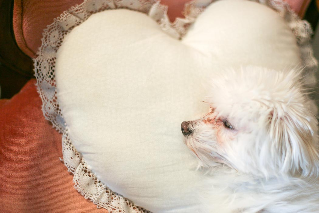 maltese, maltese on heart pillow, adorable maltese, funny dog photos, seattle dog photographer, seattle photographer, personal post