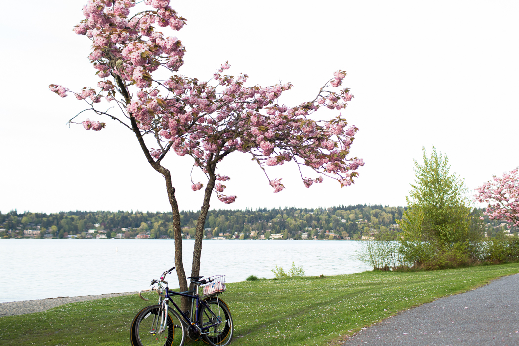 bikes leaning on a cherry blossom tree