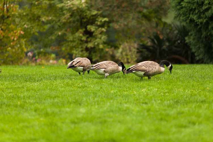canadian geese at Hiram M. Chittenden Locks